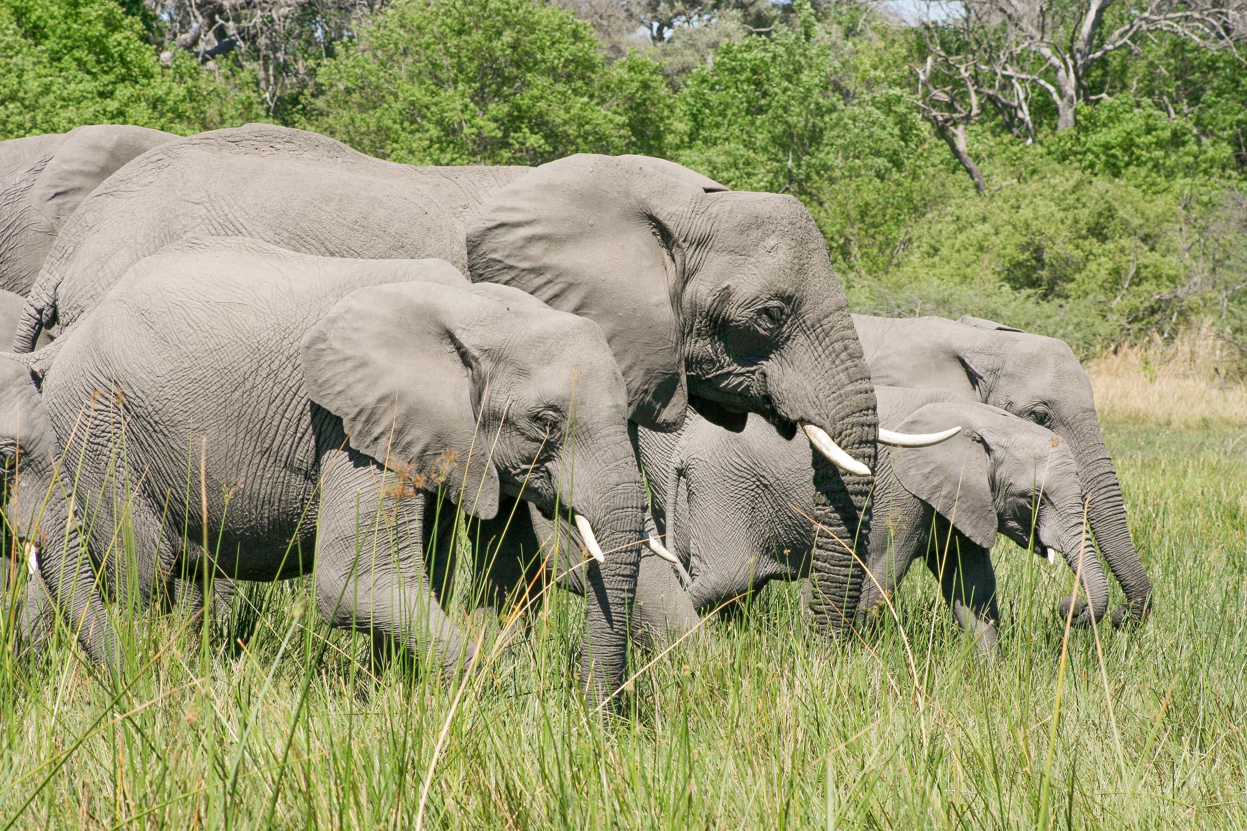Africa_Elephants.jpg