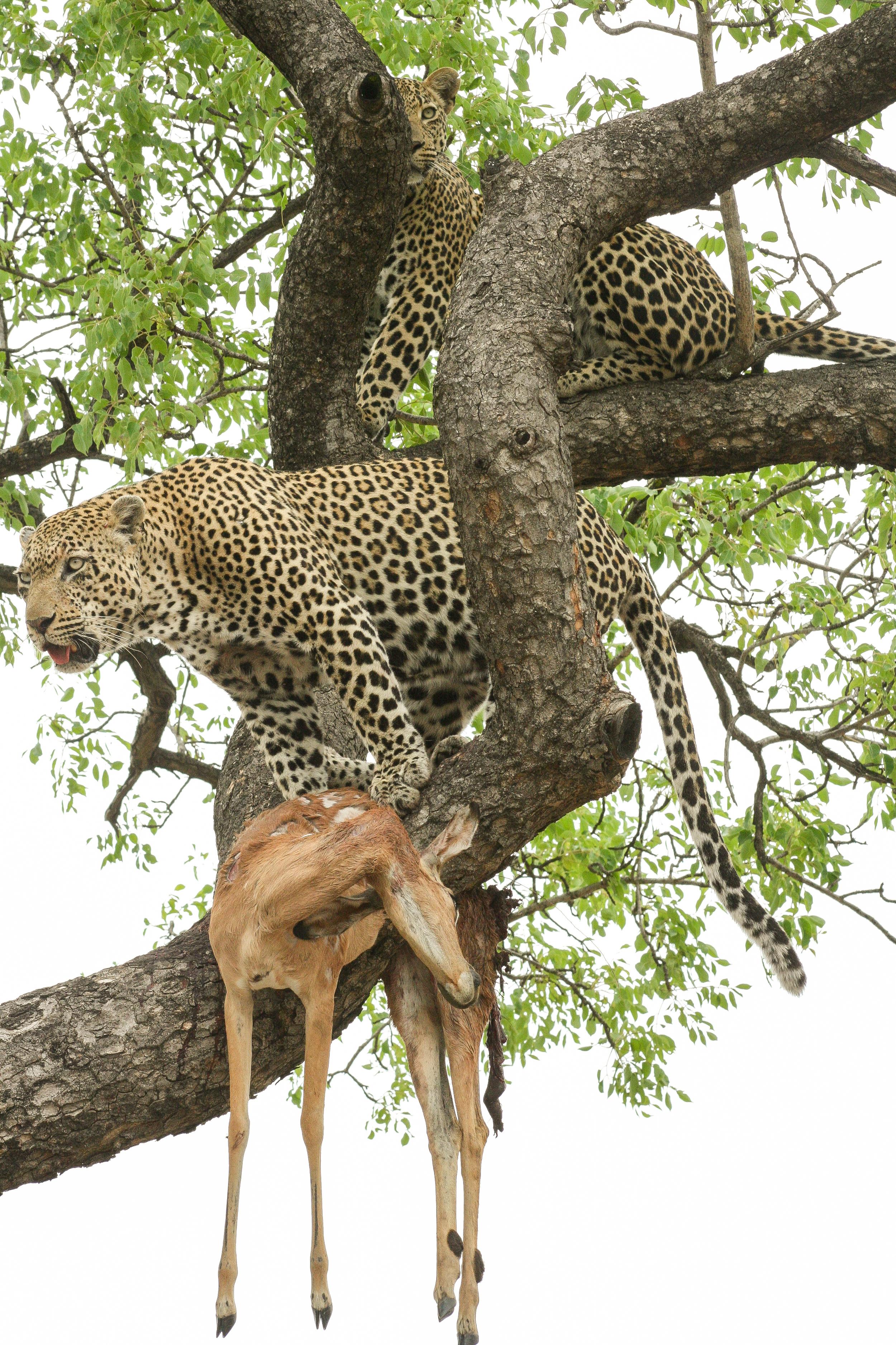 Africa_Leopards.jpg