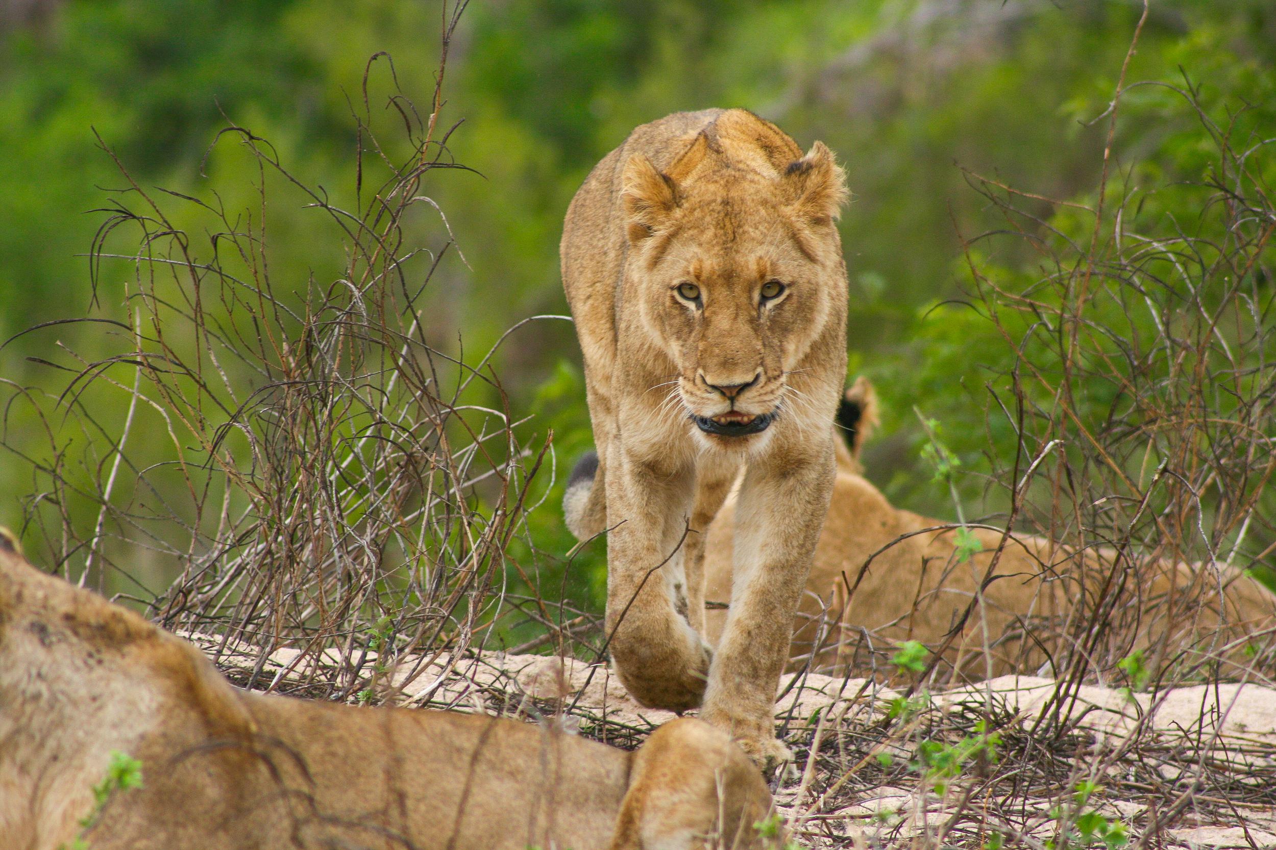 Africa_Lion.jpg