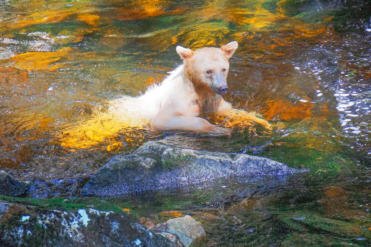 Alaska-spirit-bear.jpg
