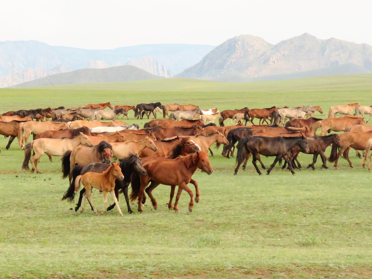 Horses_Mongolia.jpg
