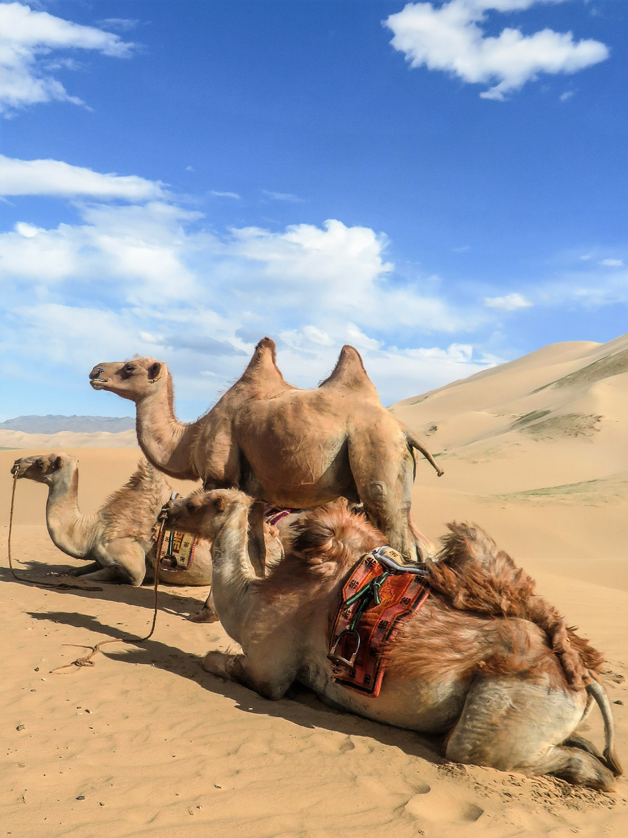 Mongolia_camels.jpg