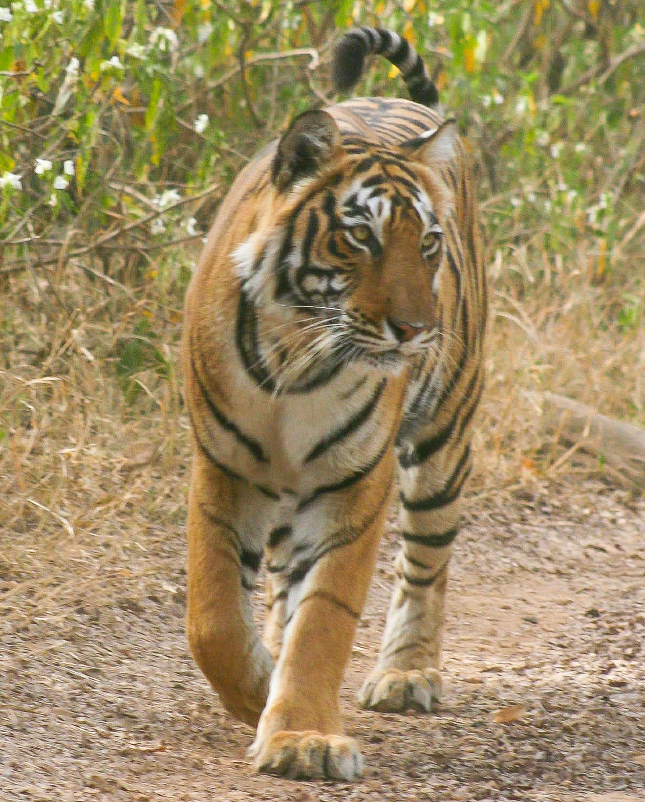 India_Tiger.jpg