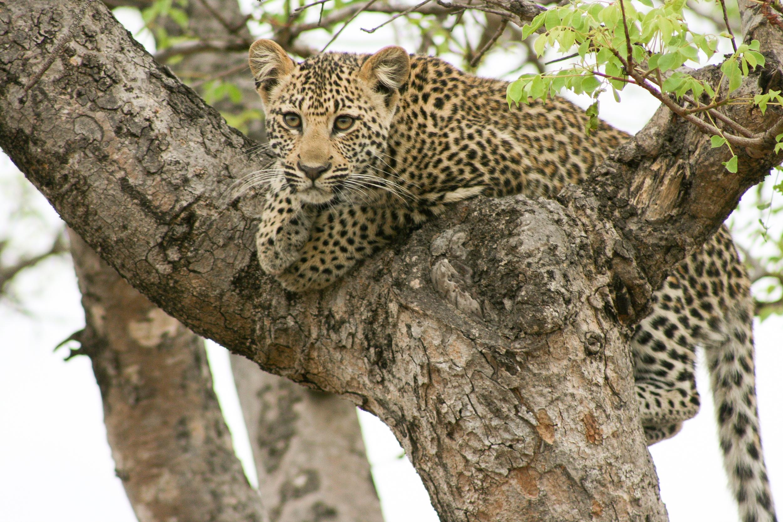 leopard_cub.jpg