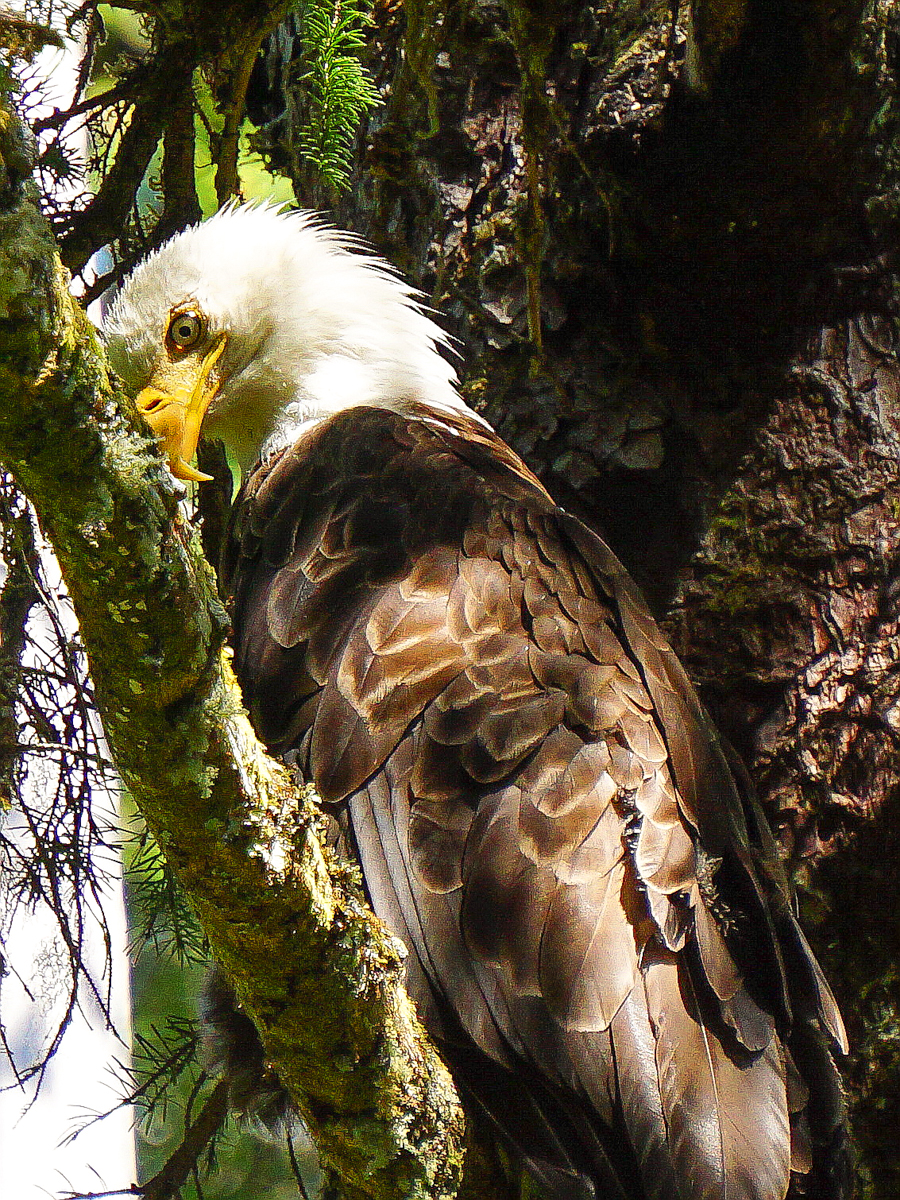 Alaska_Eagle.jpg
