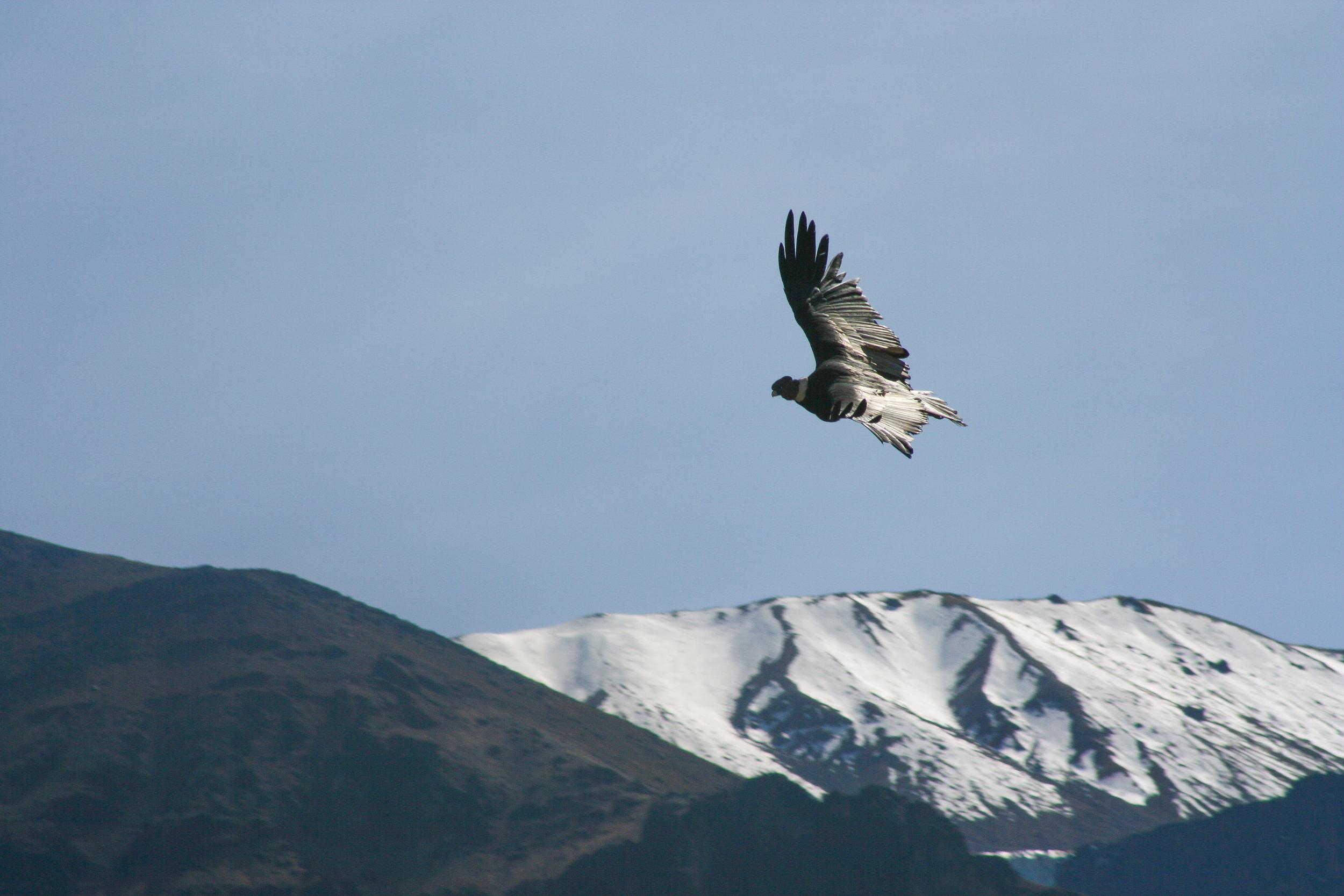 Condor_Andes_Mountains.jpg