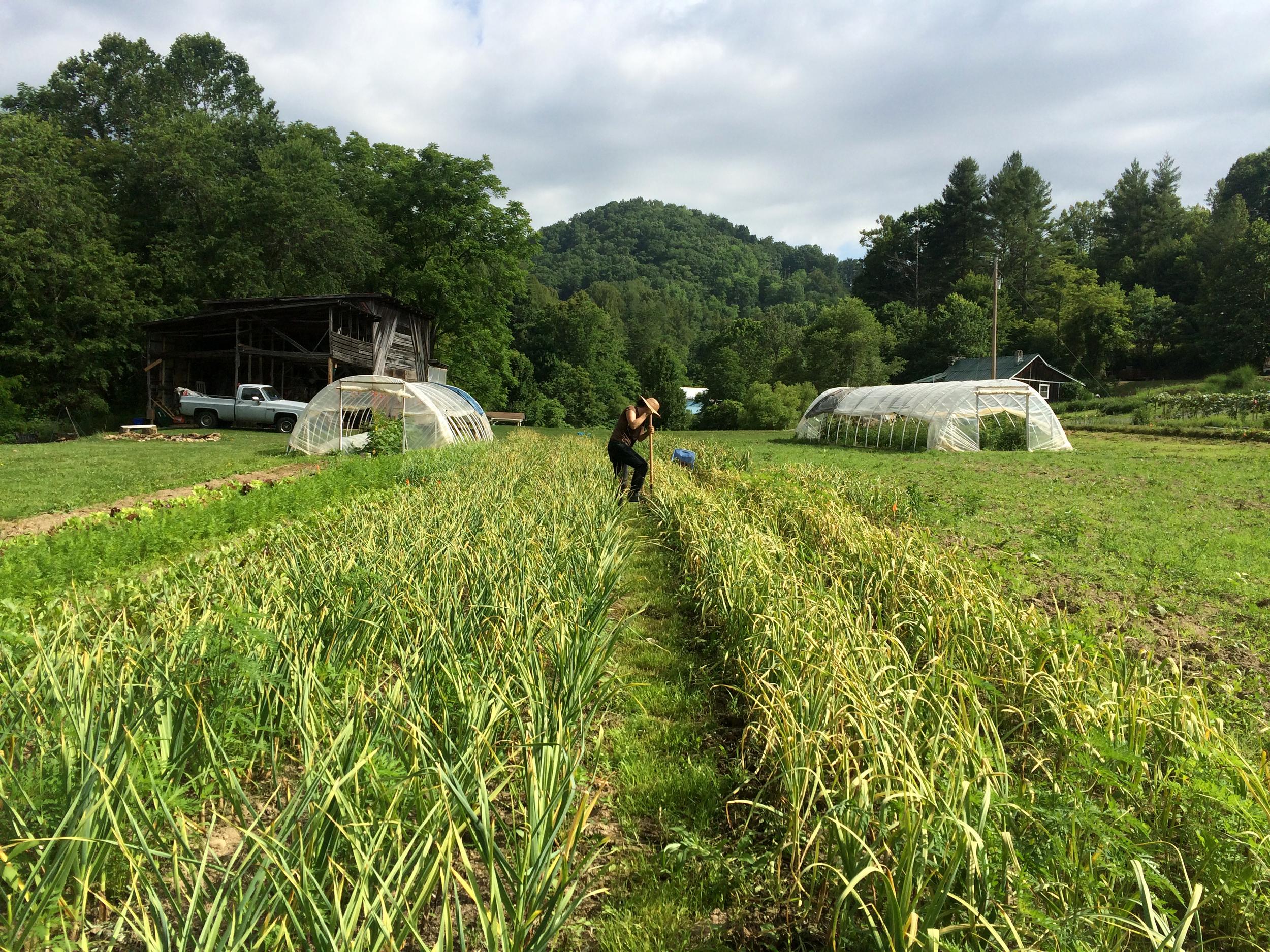 2015 garlic harvest