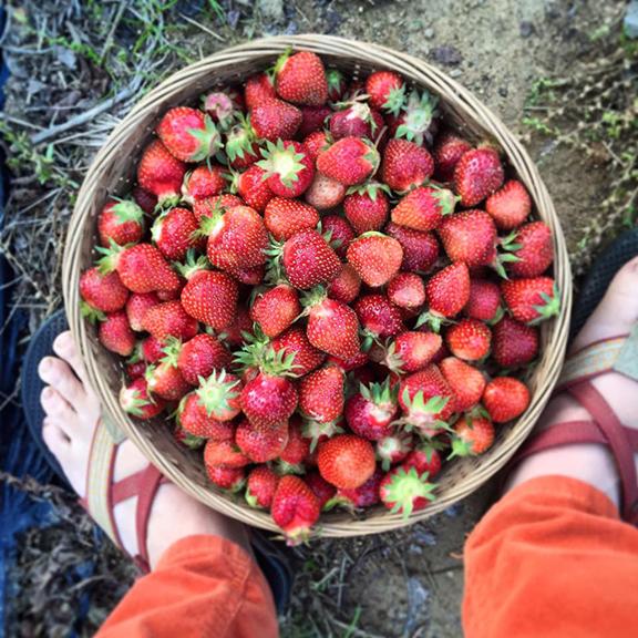 root_bottom_farm_strawberries