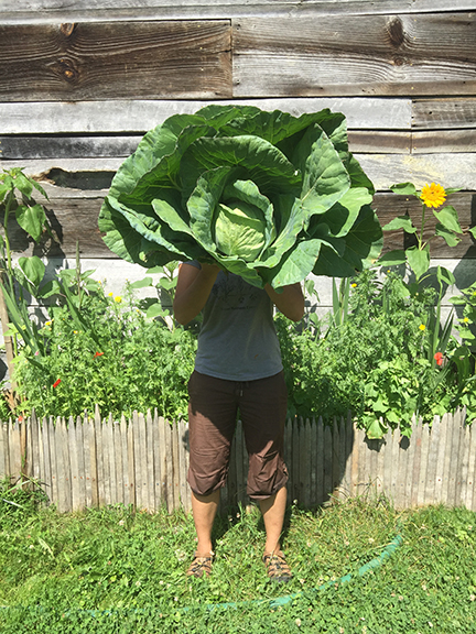 root_bottom_farm_giant_cabbage