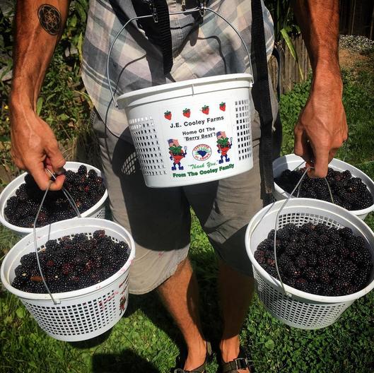 root bottom farm blackberries
