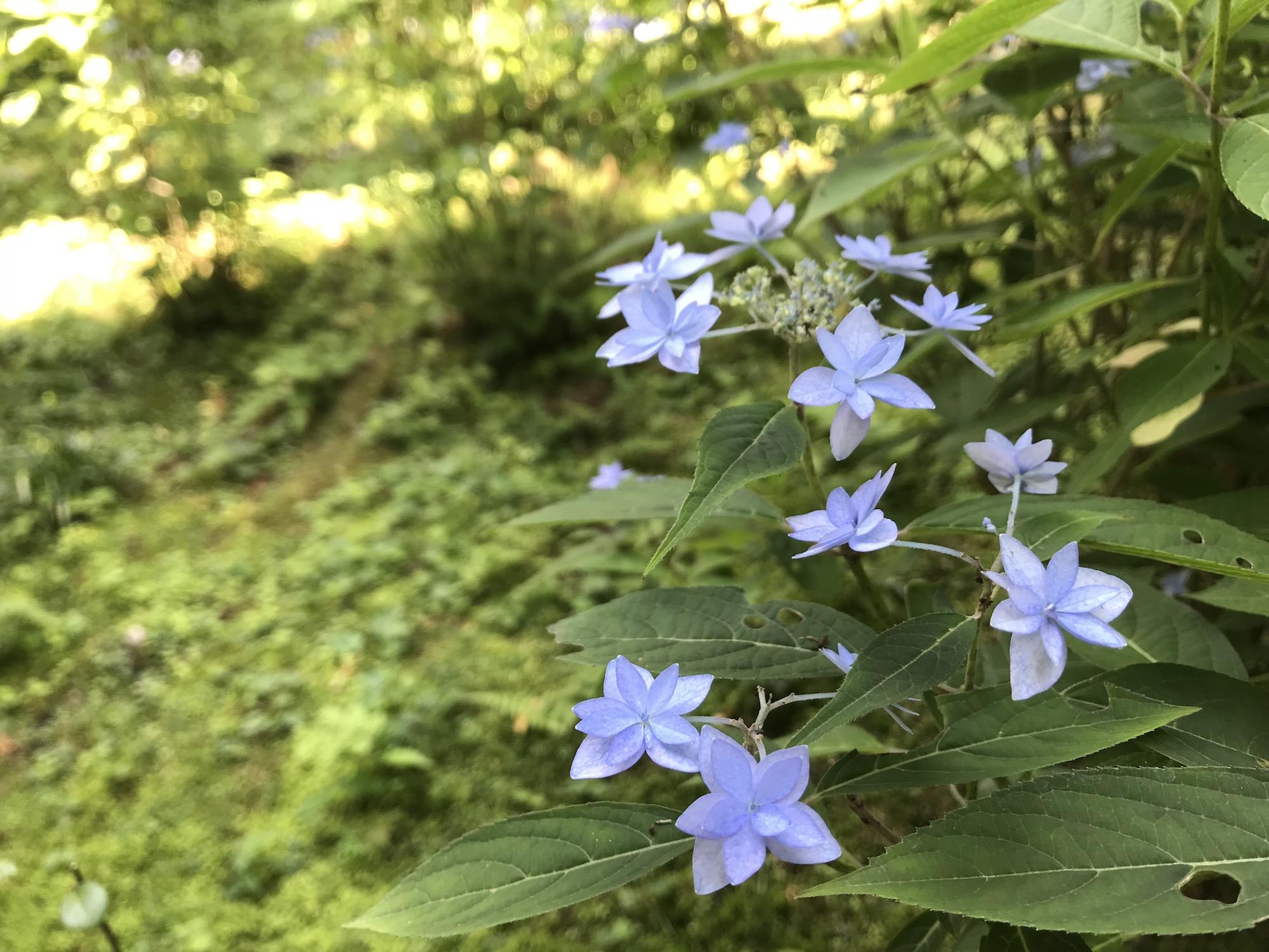 三千院・紫陽花.jpg