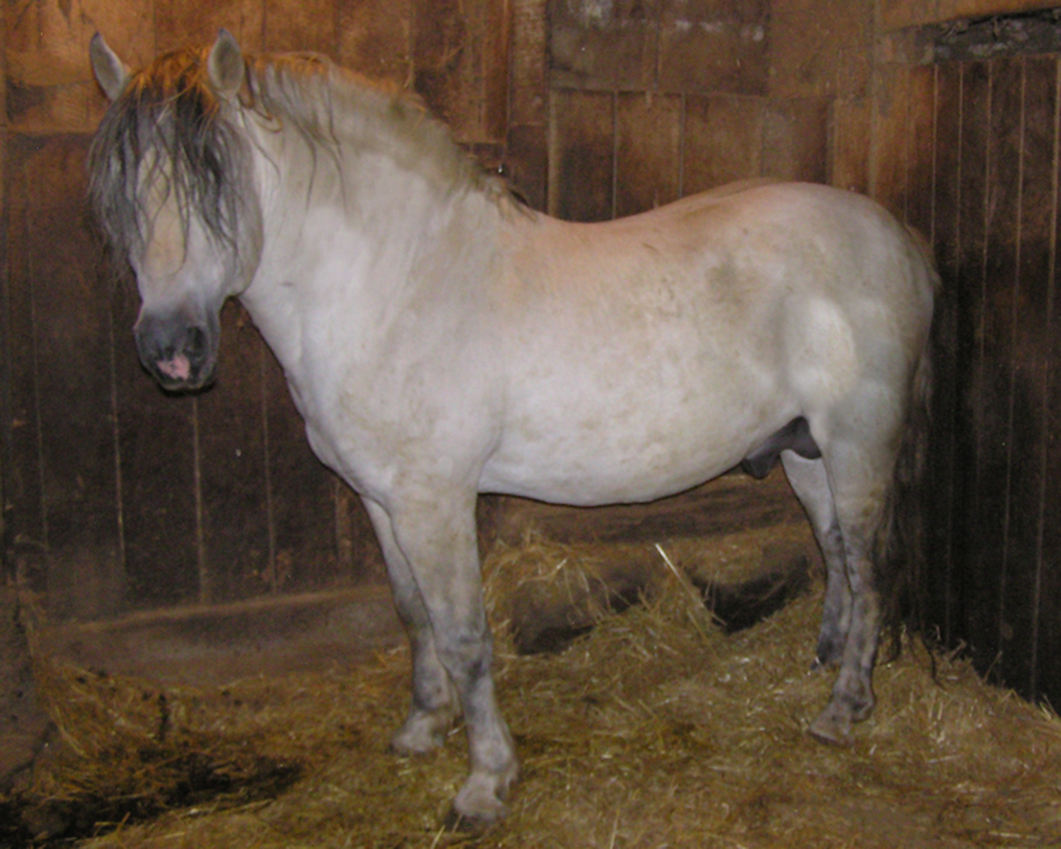 Windmill Farm John (Gray)  DOB:1995 STALLION  Sire: Smokey  Dam: Bing's P.J.  Proven breeder, has thrown black and grey colts, all with plenty of leg, and some chrome.  He's got the style you want!