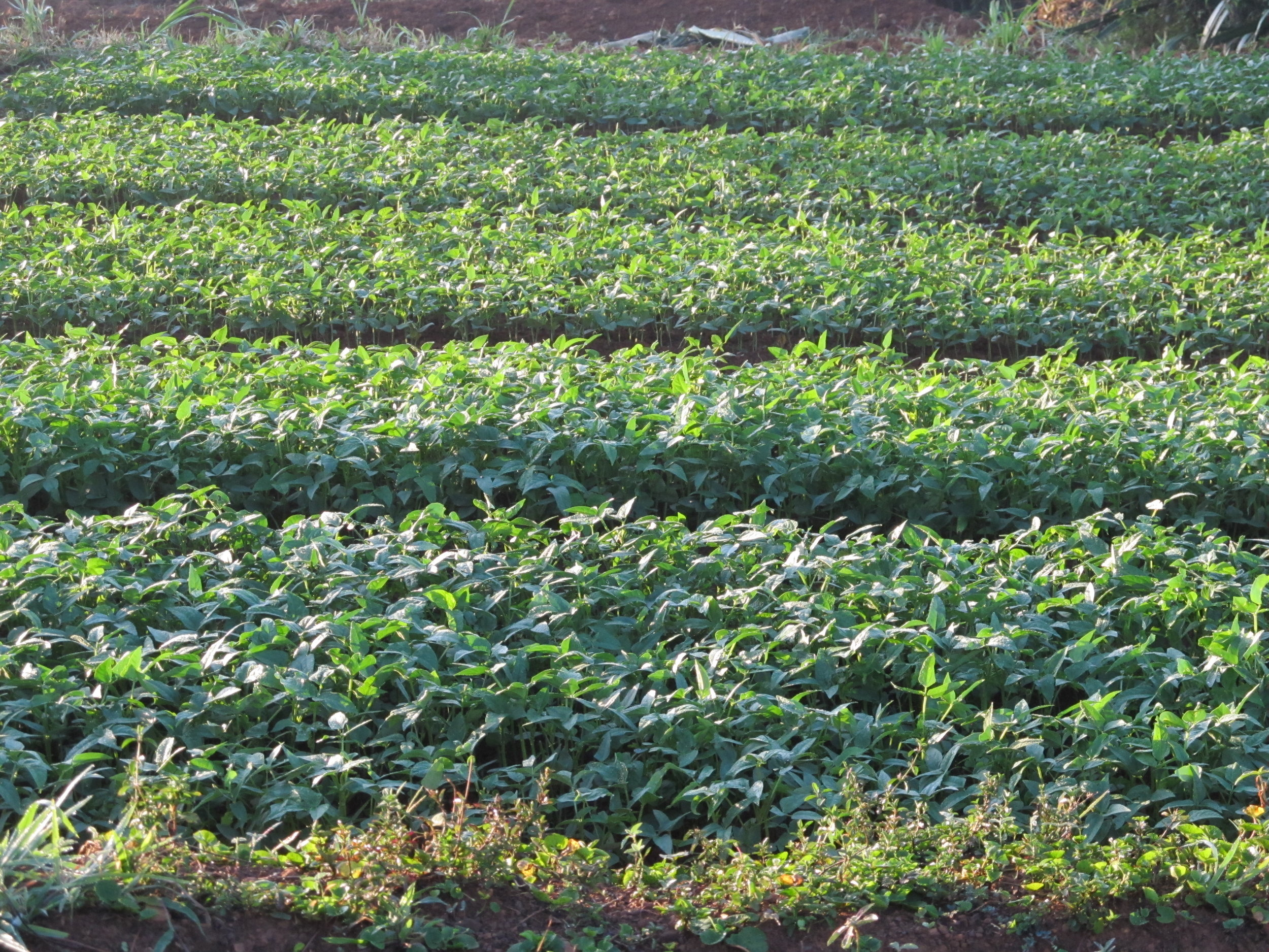 traditional vegetables in raised irrigated beds.jpg