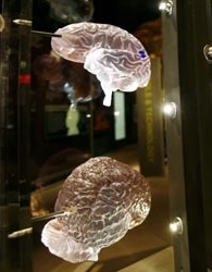 AMNH The Brain.jpg