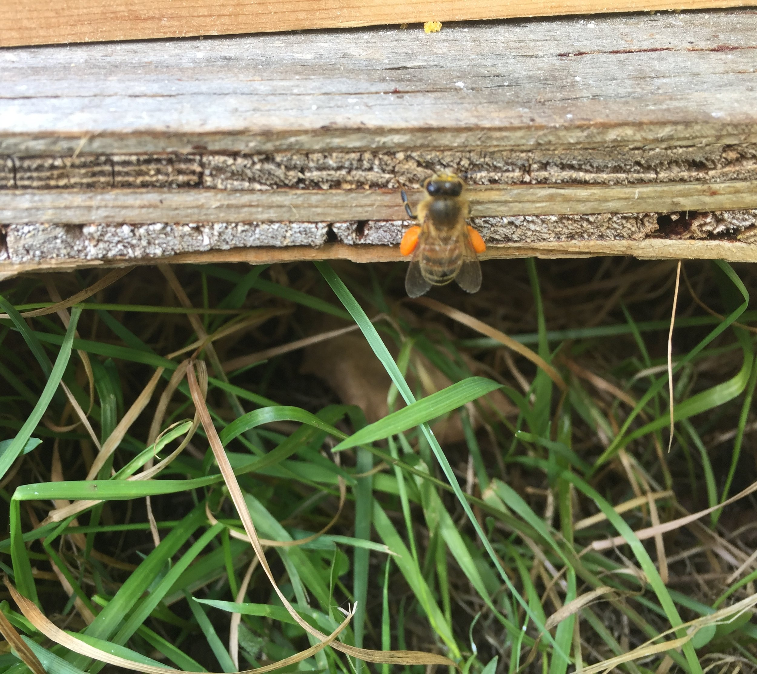 Bee with pollen sacs2.jpg