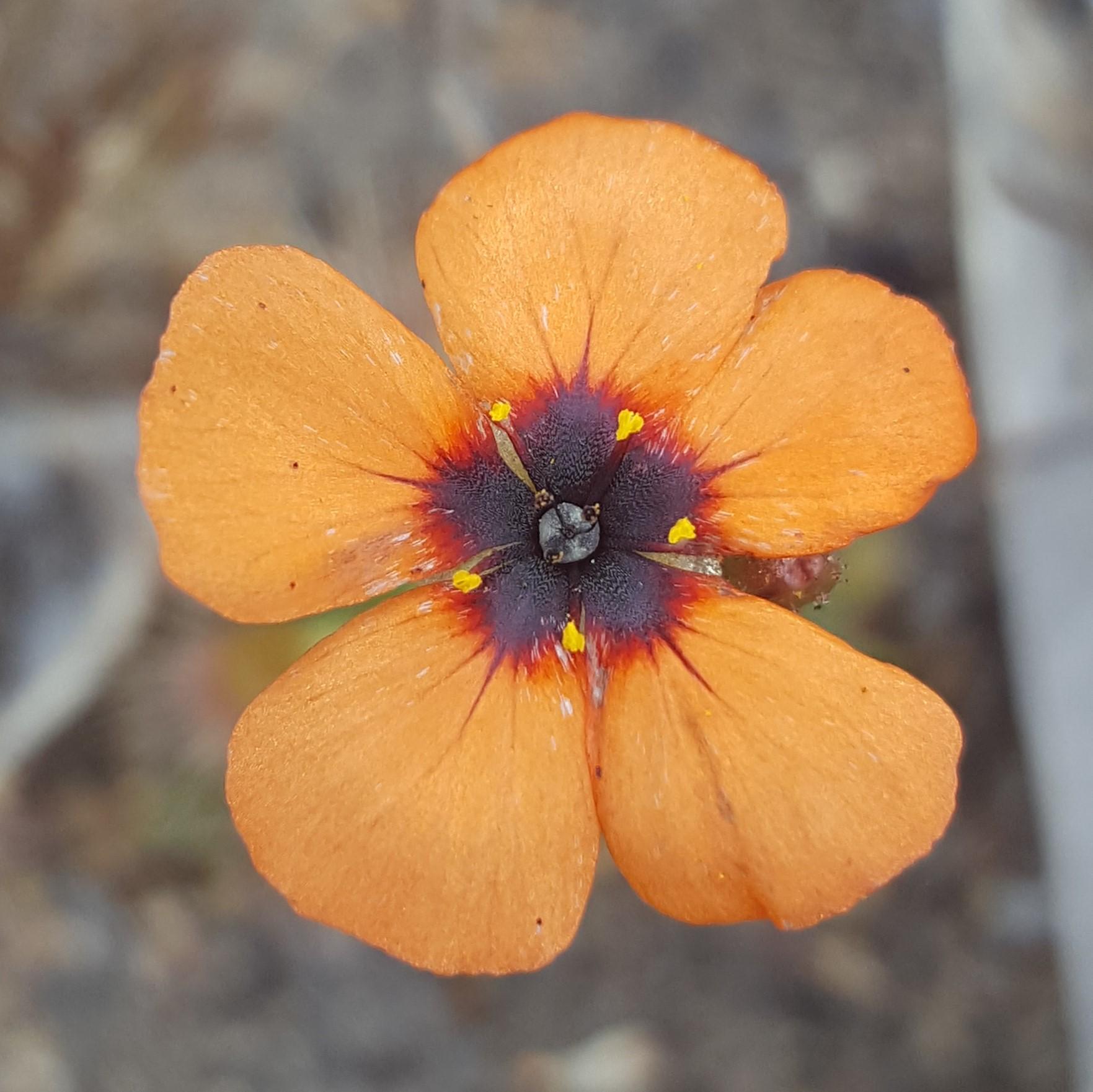 A pygmy Drosera flower, by Laura Skates.jpg