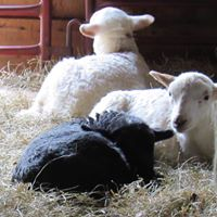 yet more lambs.jpg