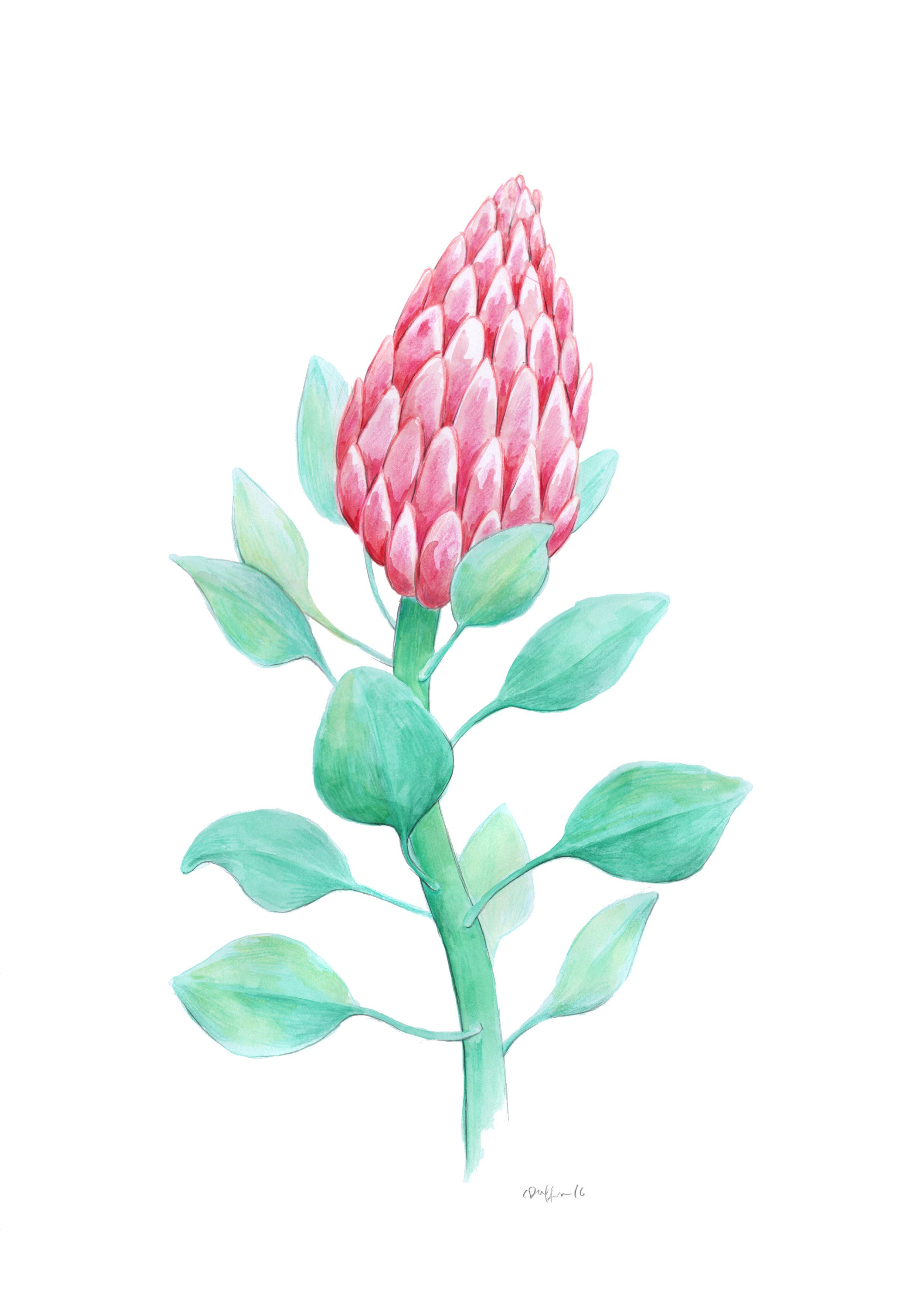 King Protea.jpg