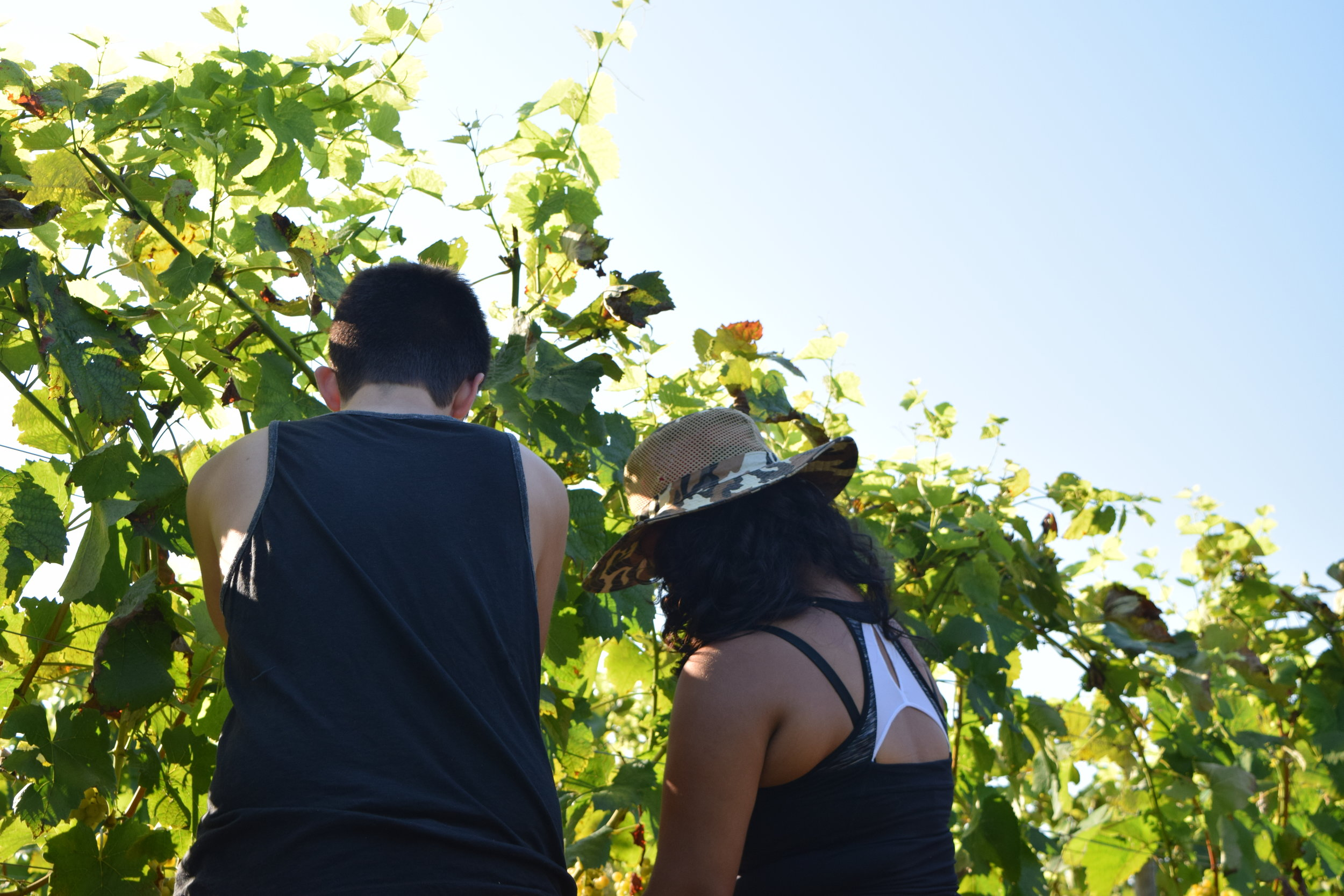 There is a local vineyard in our area and we have picked grapes for them several times.