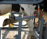 Front hoof lifting is an easy, efficient operation.