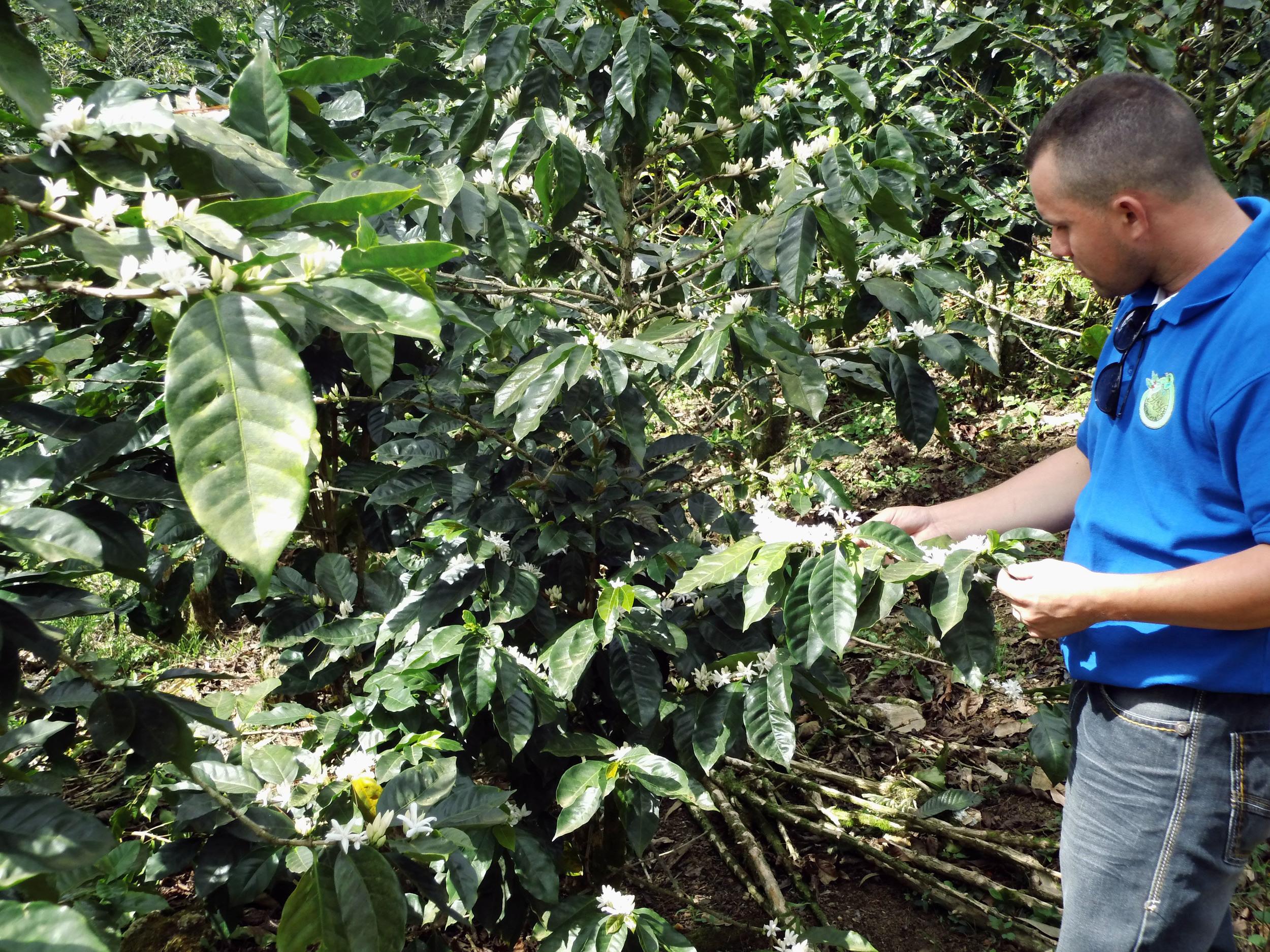 Paraiso coffee flowering inspection.jpg