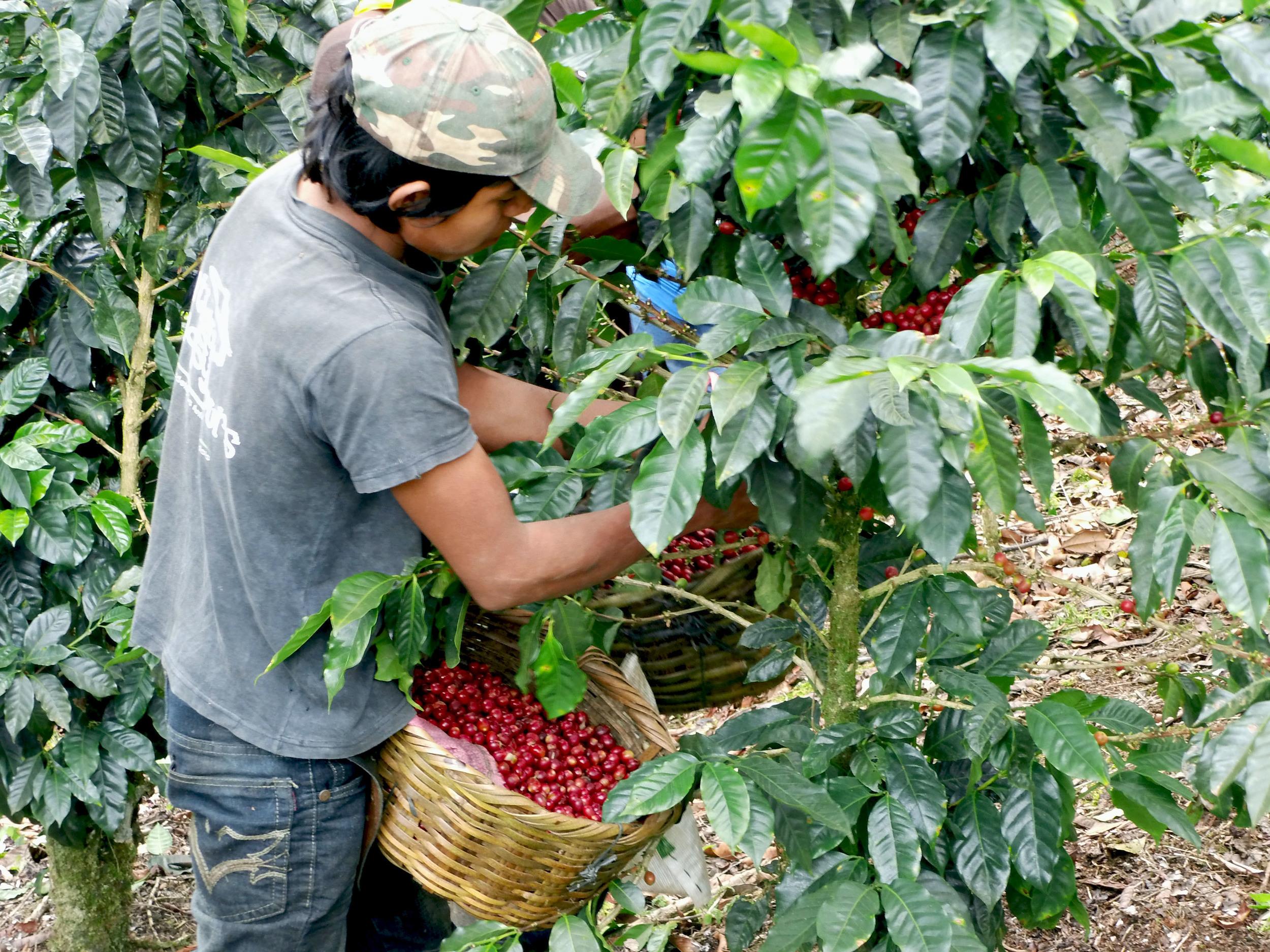 Paraiso harvest 4.jpg