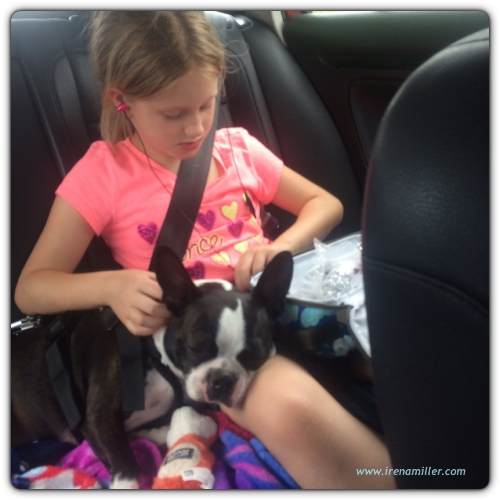 boston terrier yoga road trip