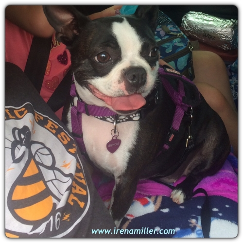 boston terrier road trip
