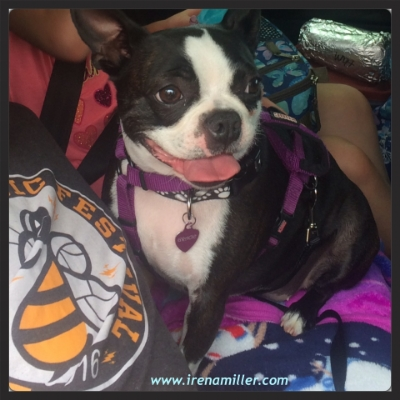 Gracie the Boston Terrier, doing yoga on the road, BREATHE