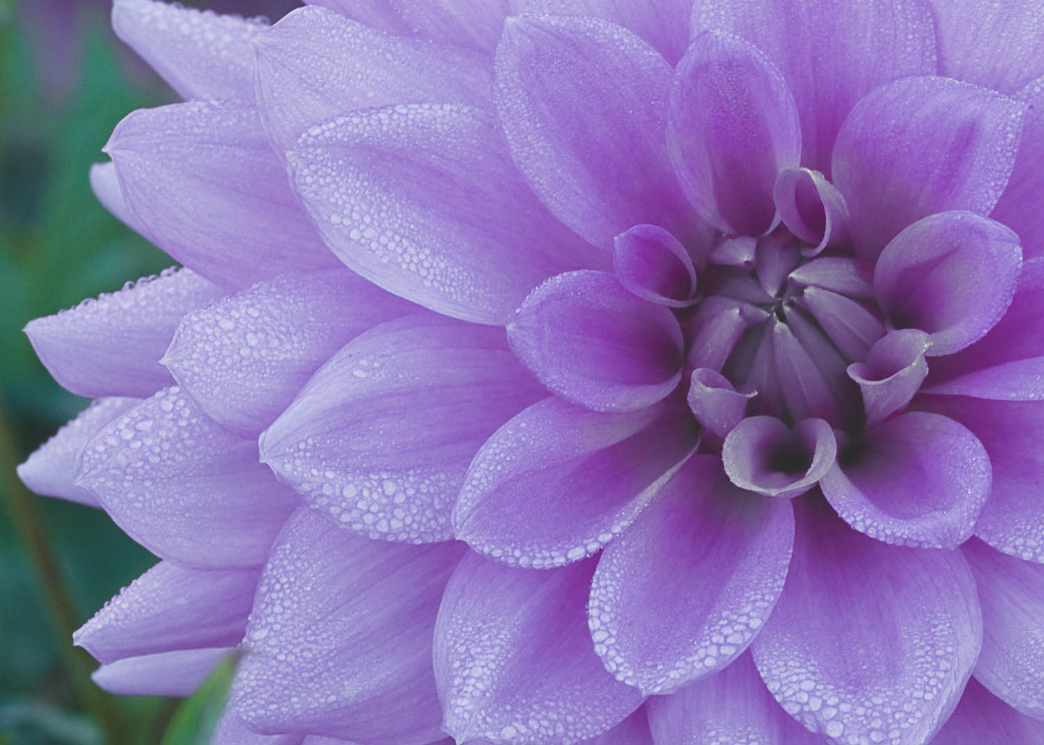 Dew on the Purple Dahlia