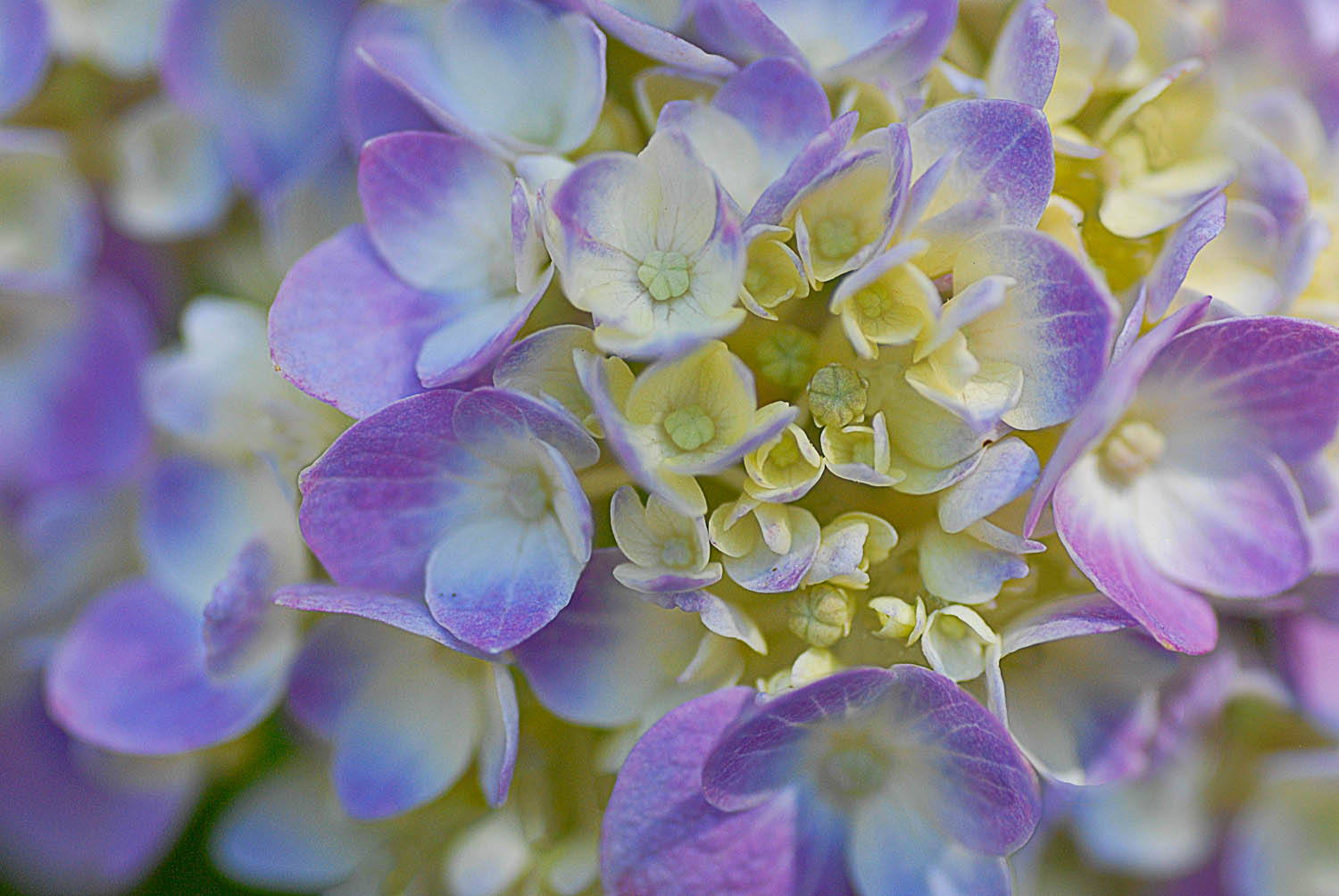 Hydrangea Up Close