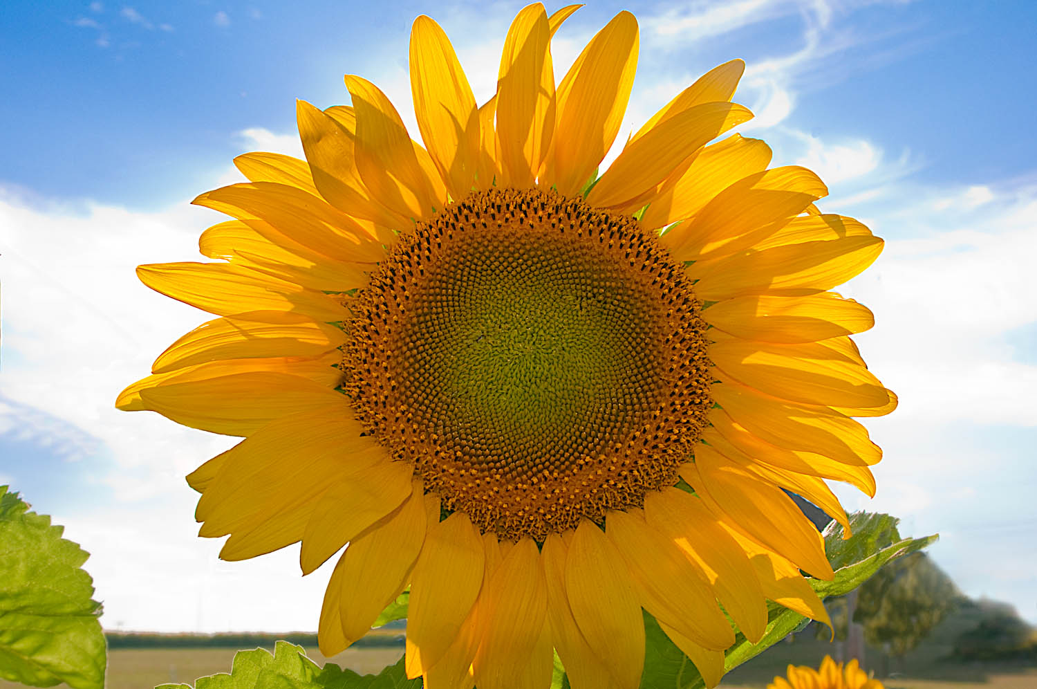 Sunflower Yellow