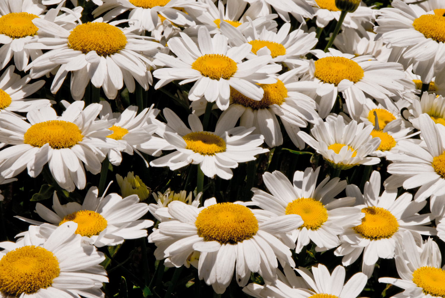 A Pocket Full of Daisies