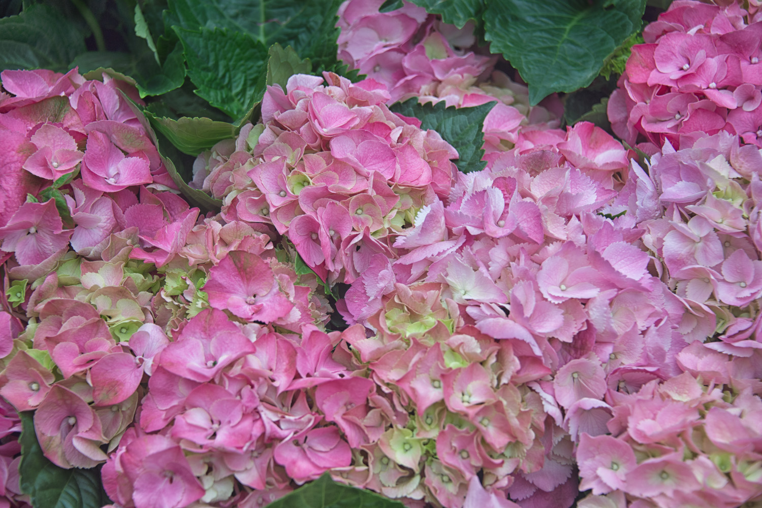 Bunches of Pink Hydrangea