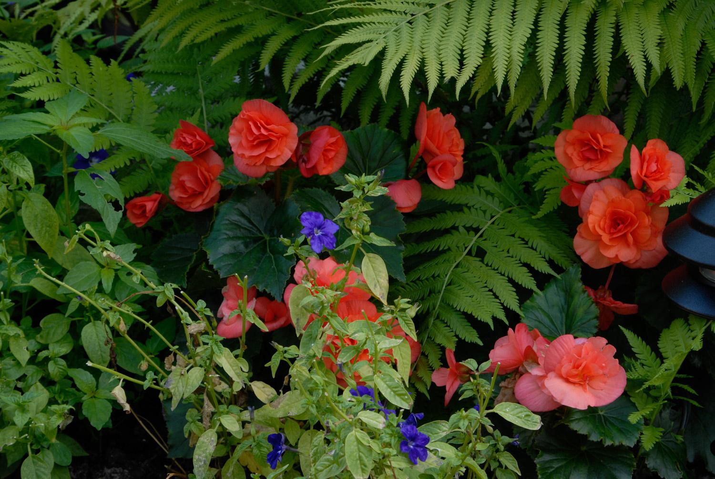 Fabulous Begonias