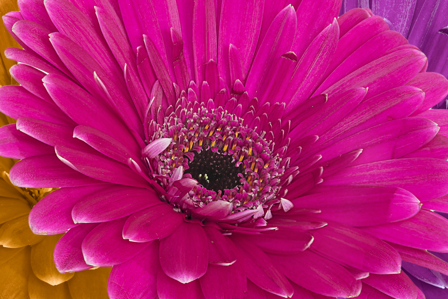 Gerbera Daisies, 3 Colors