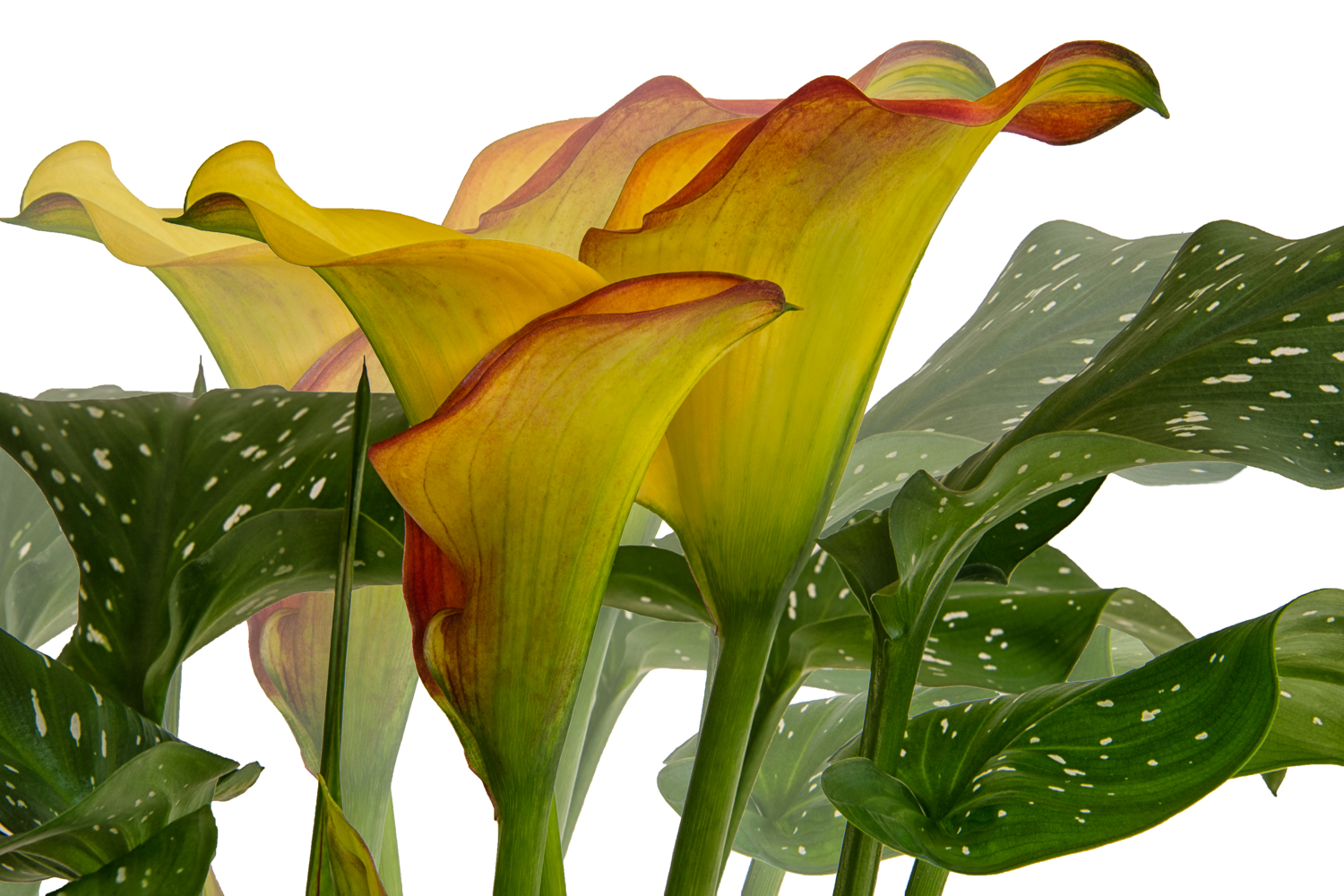 Yellow Calla Lily