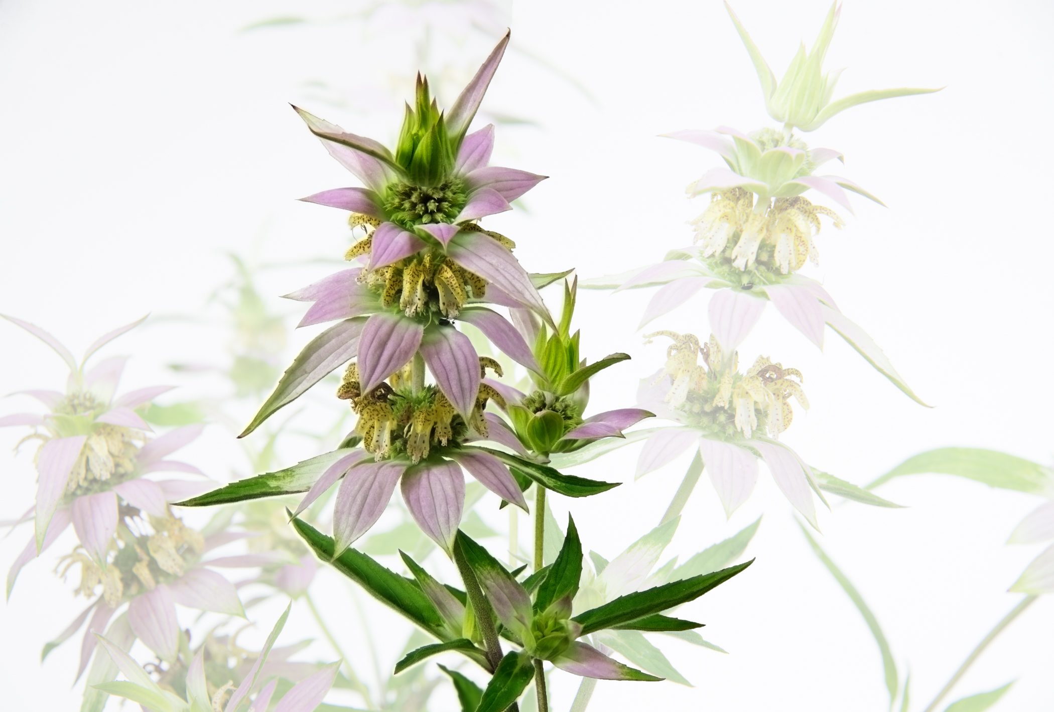 Dotted Horsemint - Monarda Punctata with background