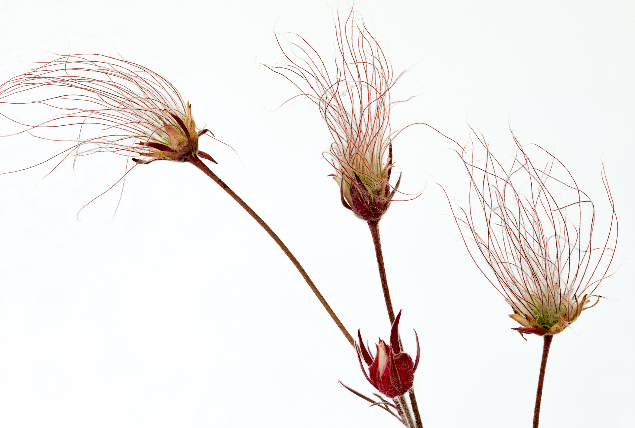 Prairie Smoke Seeds