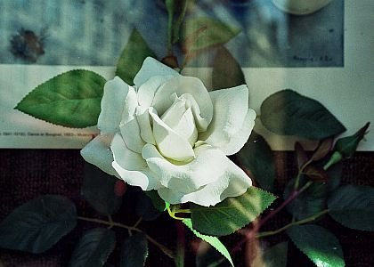 The white rose, the official flower of The Links, Incorporated. WIKIPEDIA PHOTO