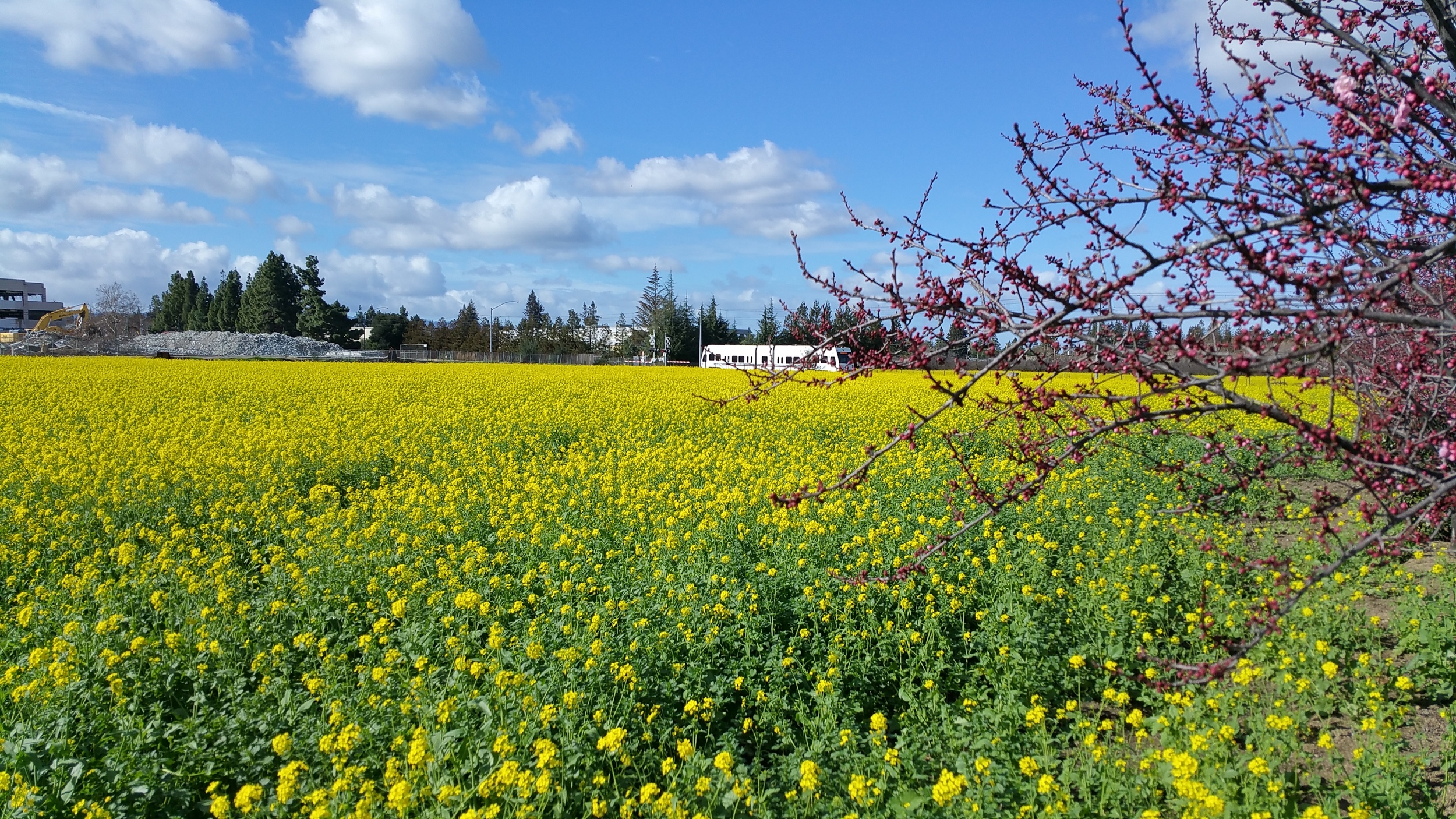 The VTA light rail heads toward Levi's Stadium through one of the last of the old Mountain View orchards. Now there are only wildflowers in bloom.