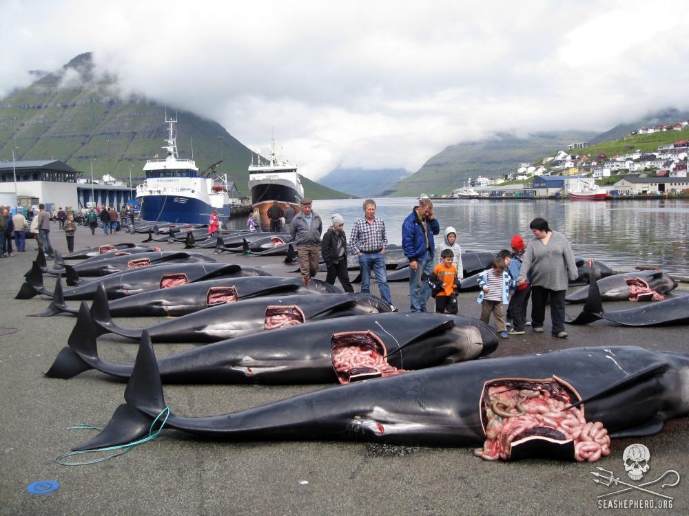 236 pilot whales slaughtered in the town of Klaksvik in the Danish Faeroe Islands. Photo credit: Sea Shepherd / Peter Hammarstedt