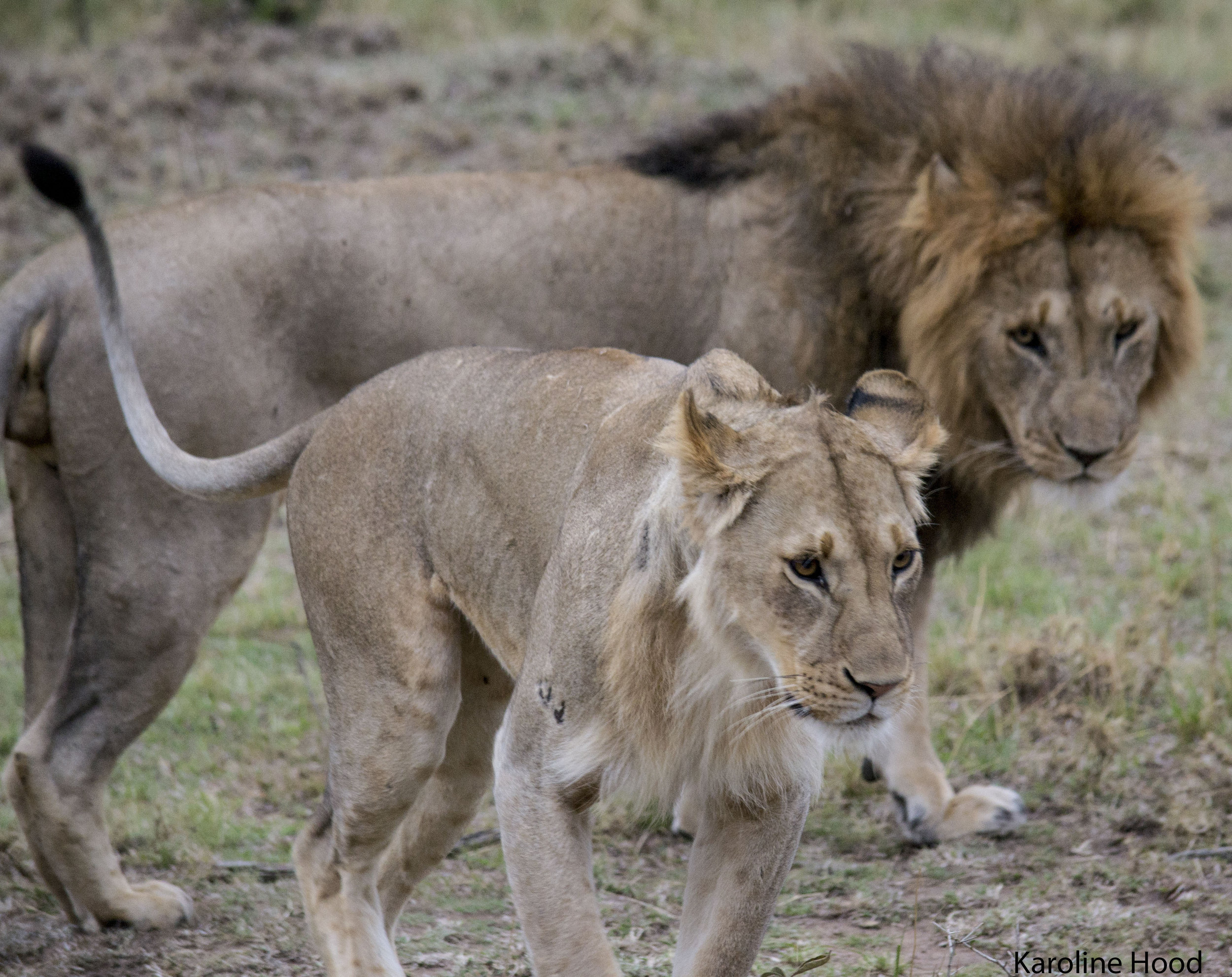 Photo by Karoline Hood. Lions mating, the female is a sub-adult called Locoman, she is growing a mane.