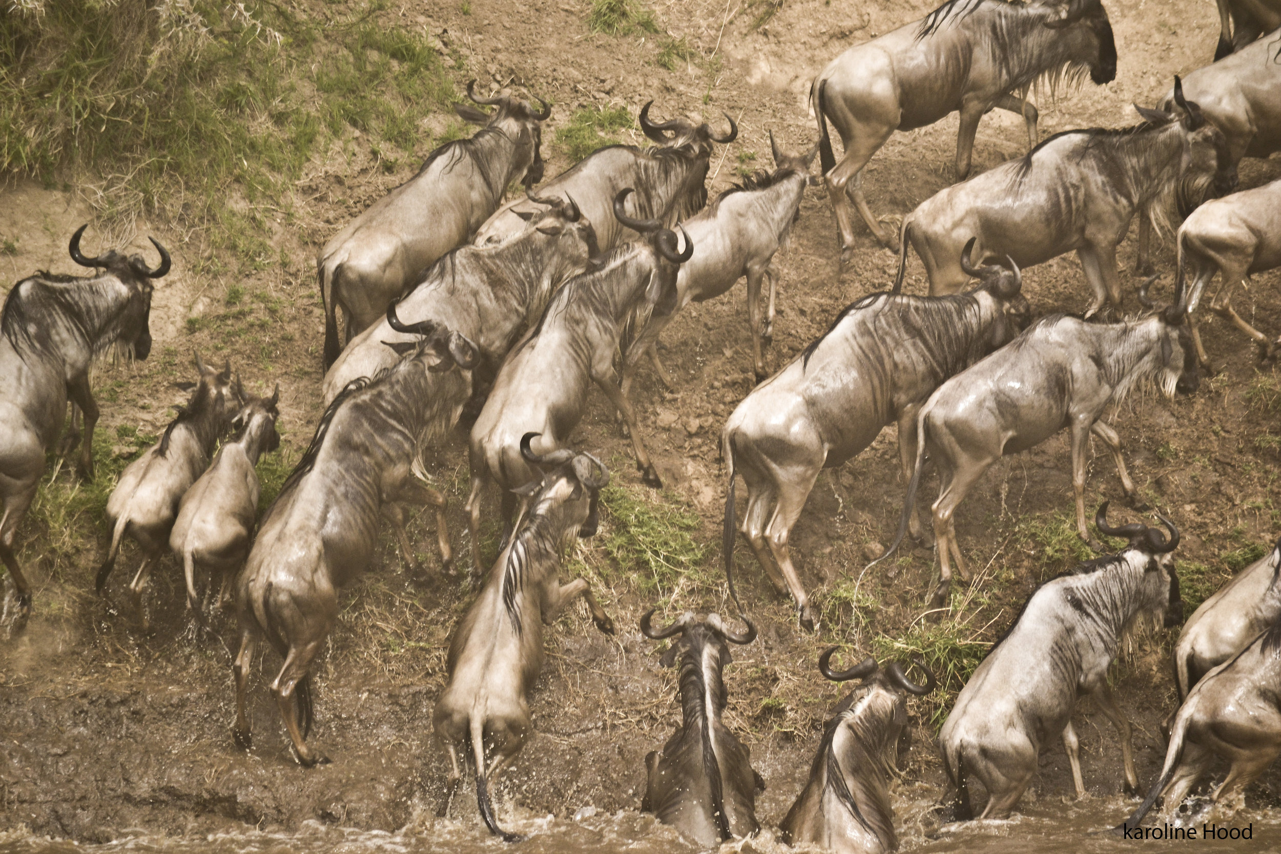 wildebeest crossing the river from Maasai Mara National Reserve into the Serengeti National Park, Tanzania. Many die during the crossing. Photo by Karoline Hood.