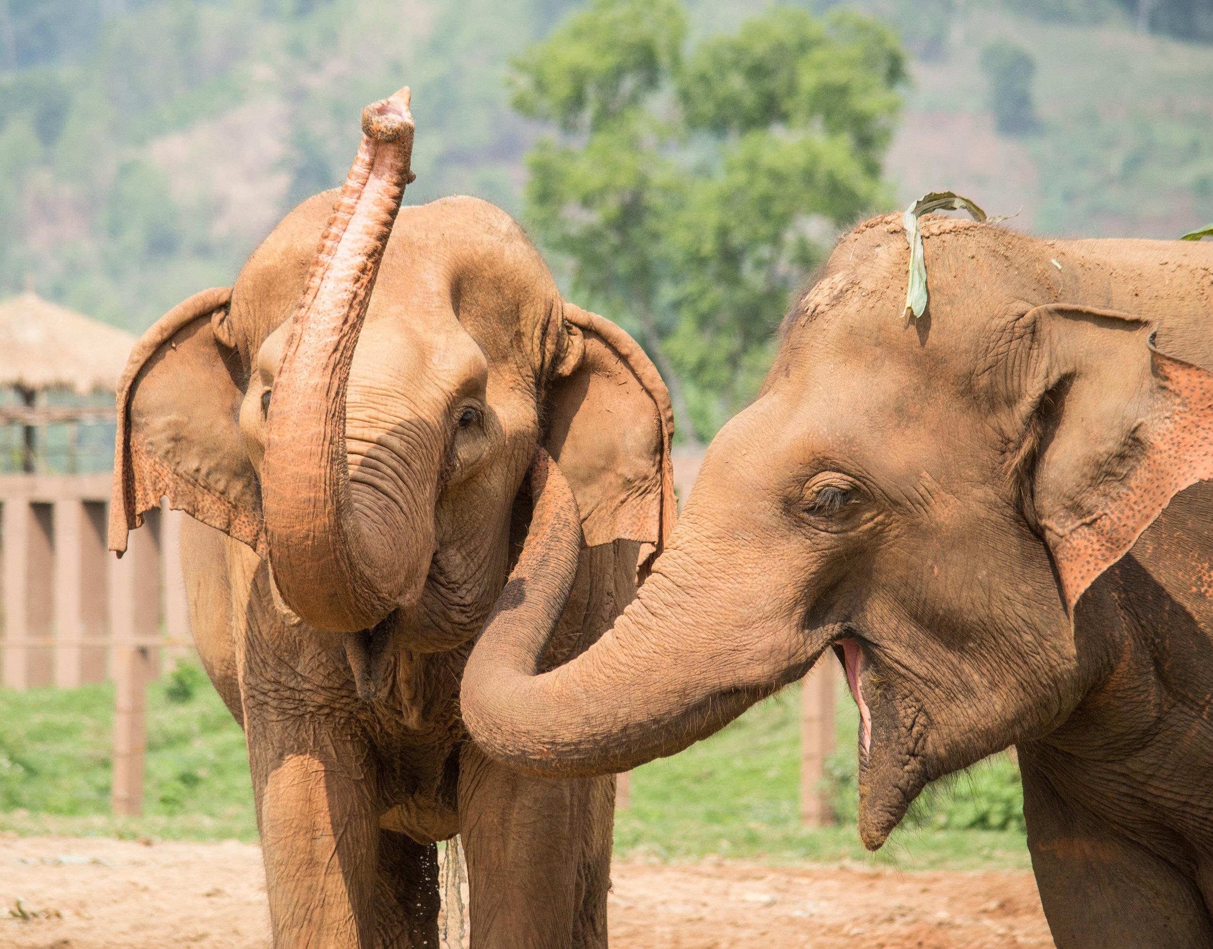Photo by Karoline Hood. Rescued elephants at Elephant Nature Park