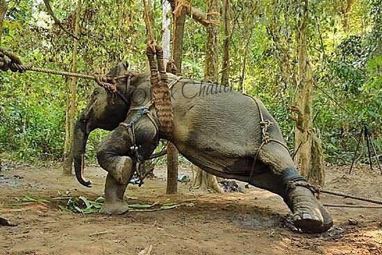 elephant-torture-entrainement-4.jpg