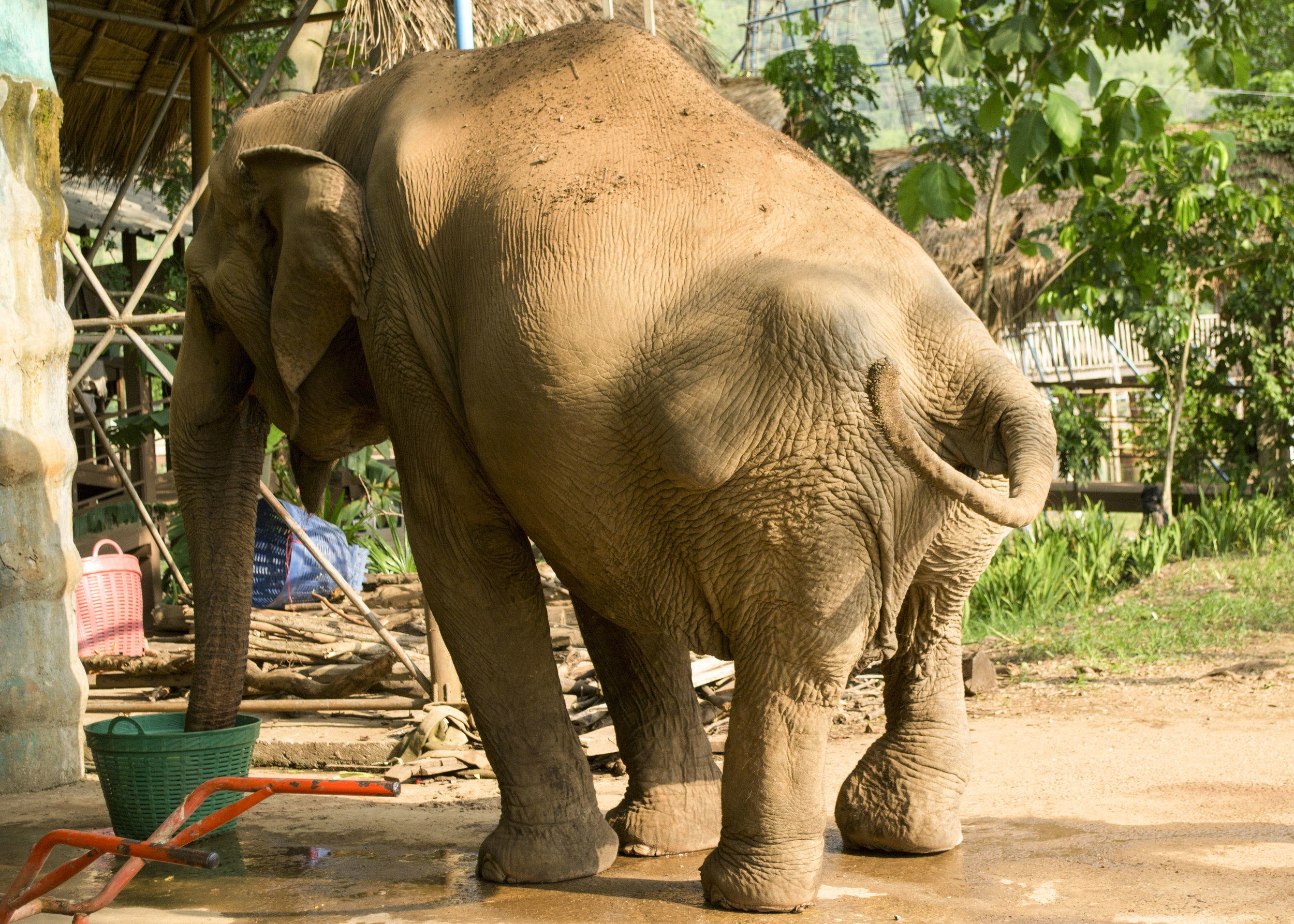 A crippled rescued elephant is now living the rest of her life at Elephant Nature Park. Photo by Karoline Hood