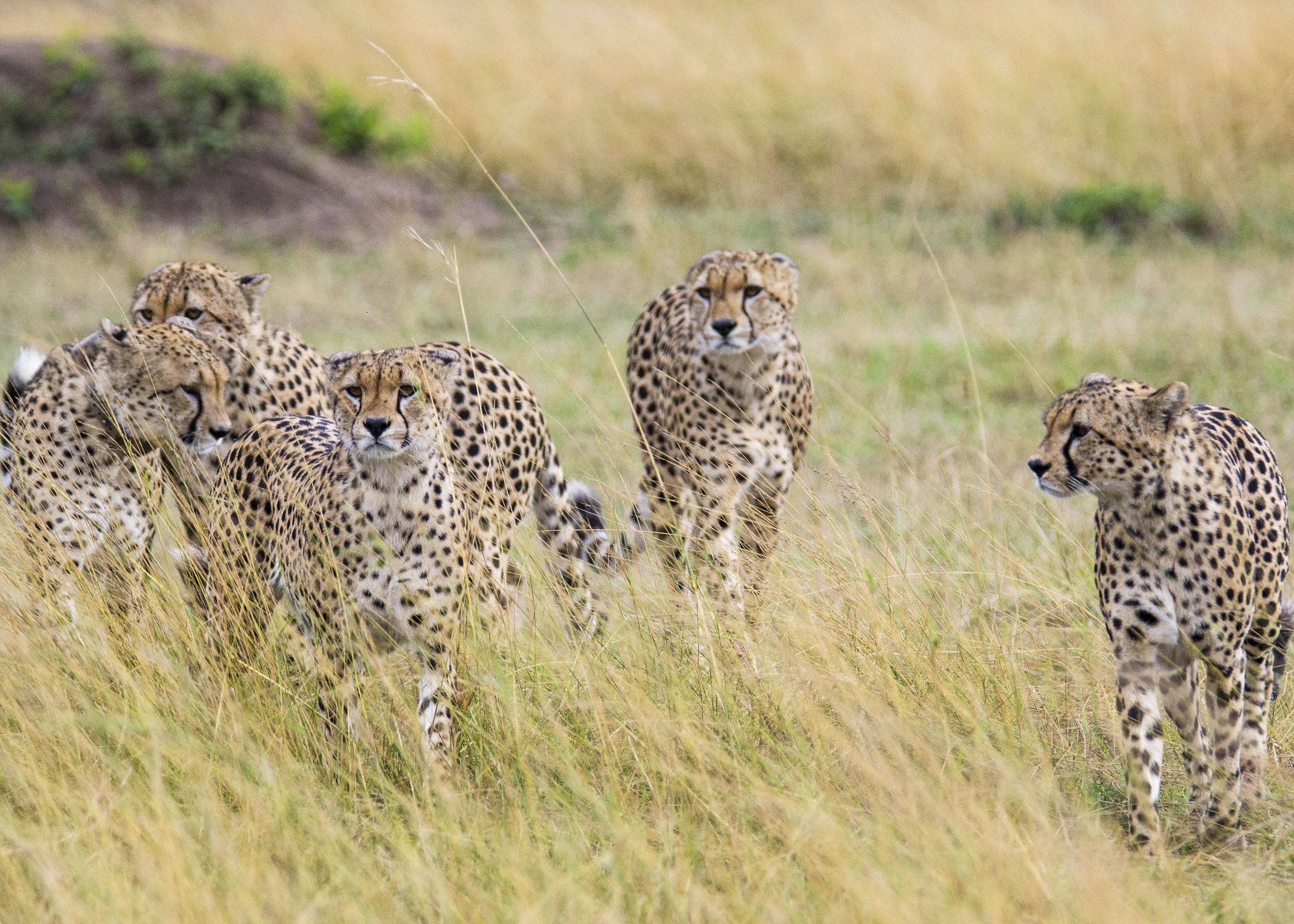 coalition of five male cheetahs in Masai Mara National Reserve Photo by Karoline Hood