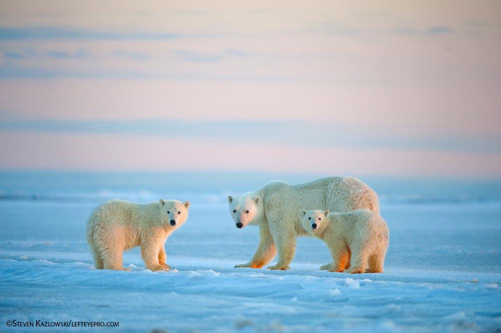 Polar Bears. Photo by Steven Kazlowski.