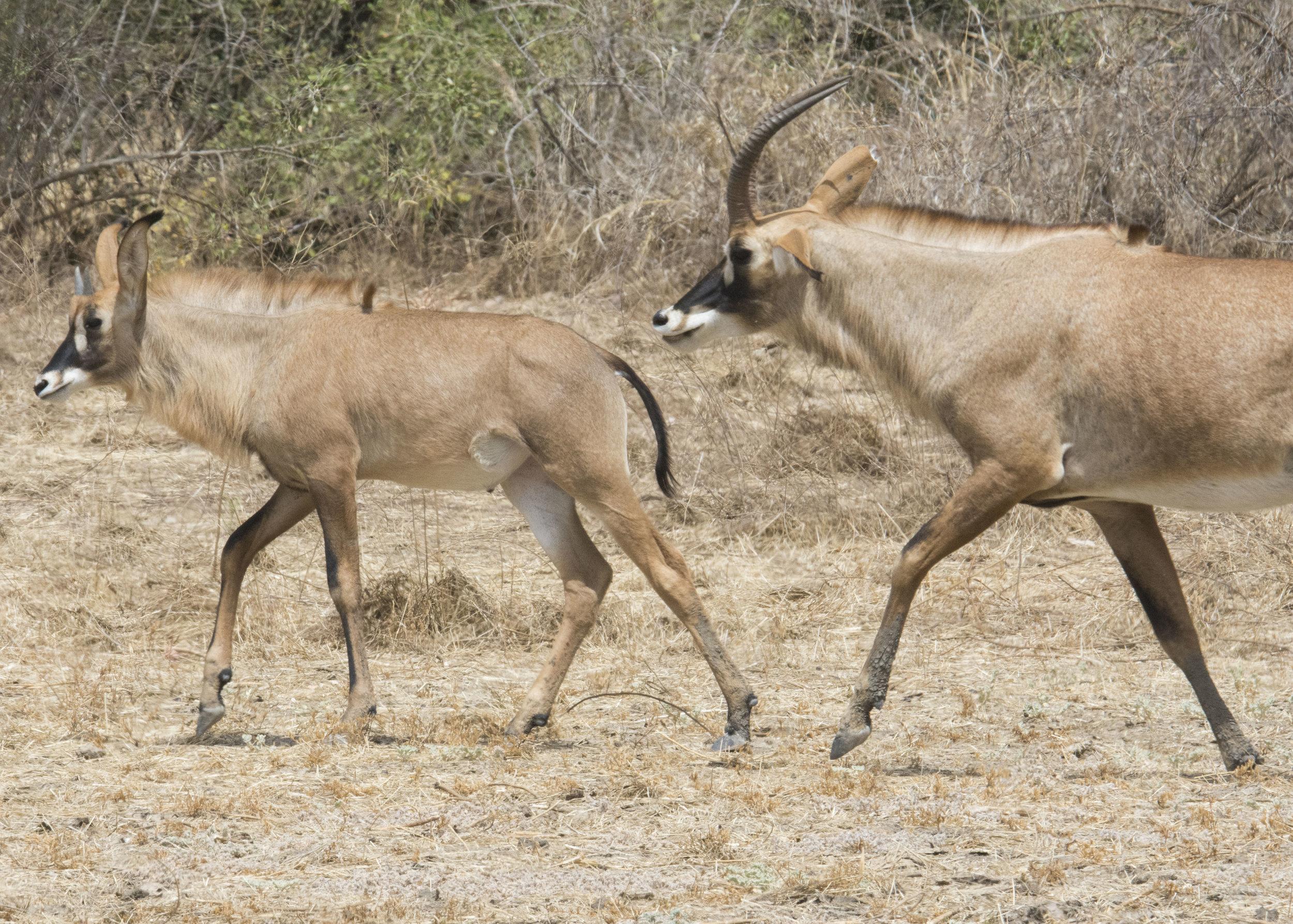 Roan antelope at Zakouma Park. Photography by Karoline Hood.